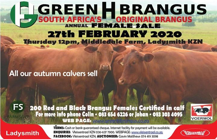 Green H Brangus Female sale