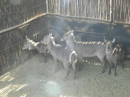 Waterbok Koeie