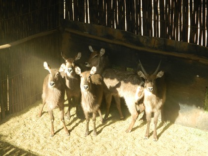 Waterbok Familiegroep