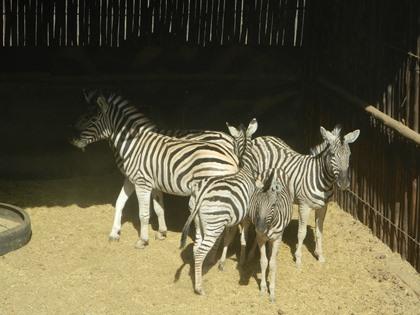 Zebra Vroulik