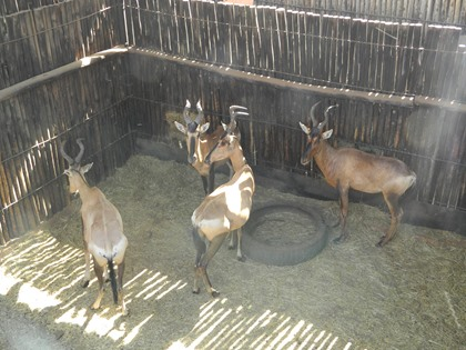 Rooihartebees Familiegroep