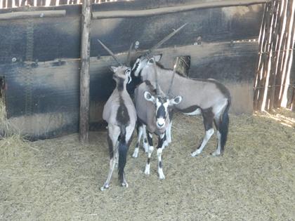 Gemsbok Familiegroep