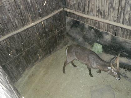 Waterbok Bul